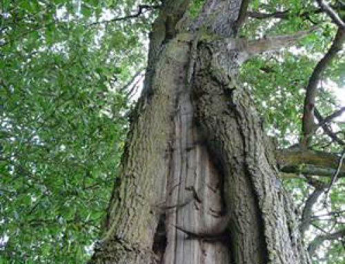 Lampertheim: Greenpeace fordert Ausweisung als Naturdenkmal
